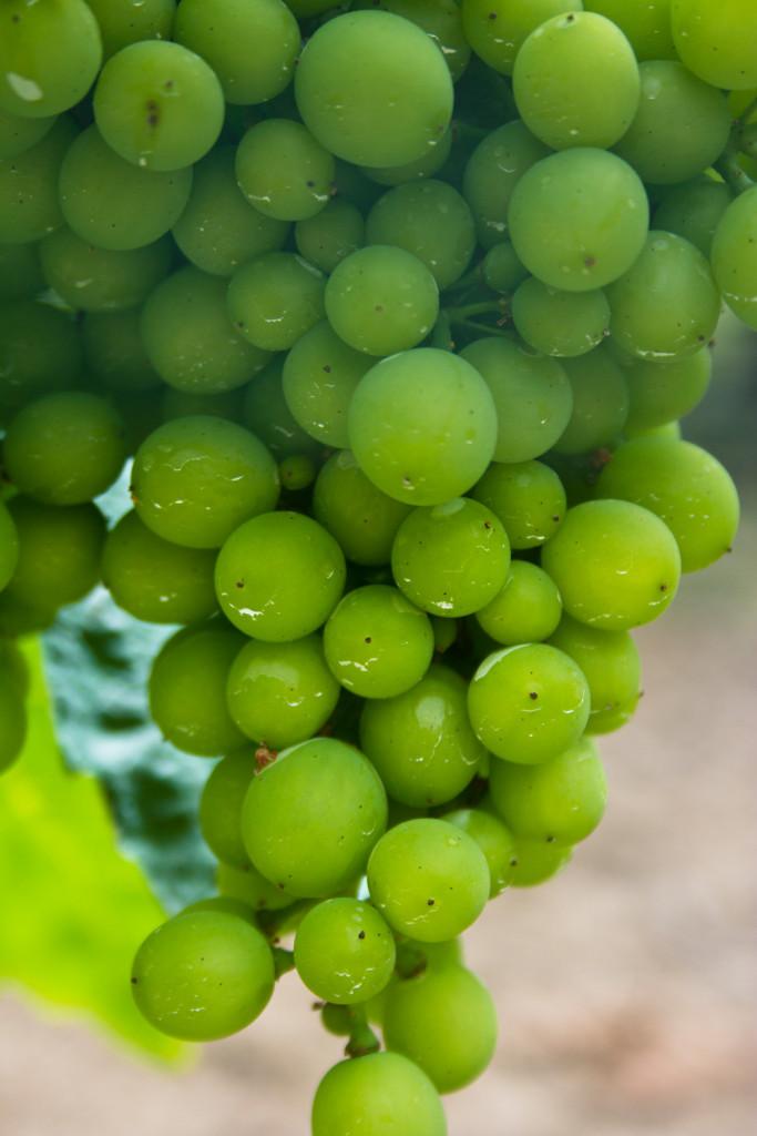 Weintrauben an einer weißen Rebe