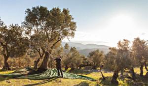 Bastian Jordan steht im Olivenhain und erntet mit einem Stock Oliven.