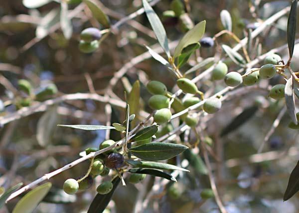 Ein Olivenzweig mit Oliven.