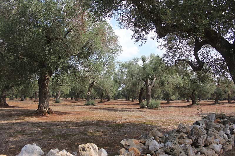 Ein Olivenhain in Apulien.
