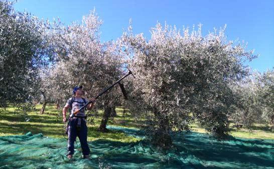 Ein Olivenbauer erntet Oliven von einem Baum.