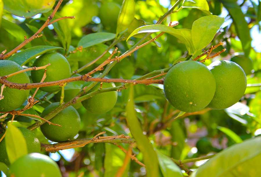Bergamotten am Zweig eines Bergamottenbaums