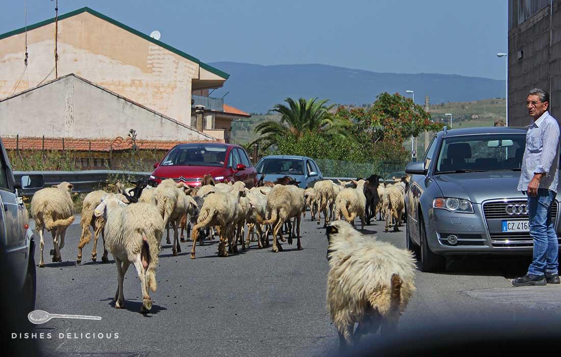 Eine Schafsherde mitten auf der Straße. Die Autos müssen warten.