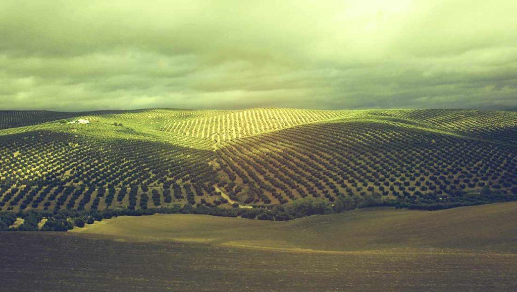 Gleichmäßig mit Olivenbäumen bepflanzte Hügel in Andalusien