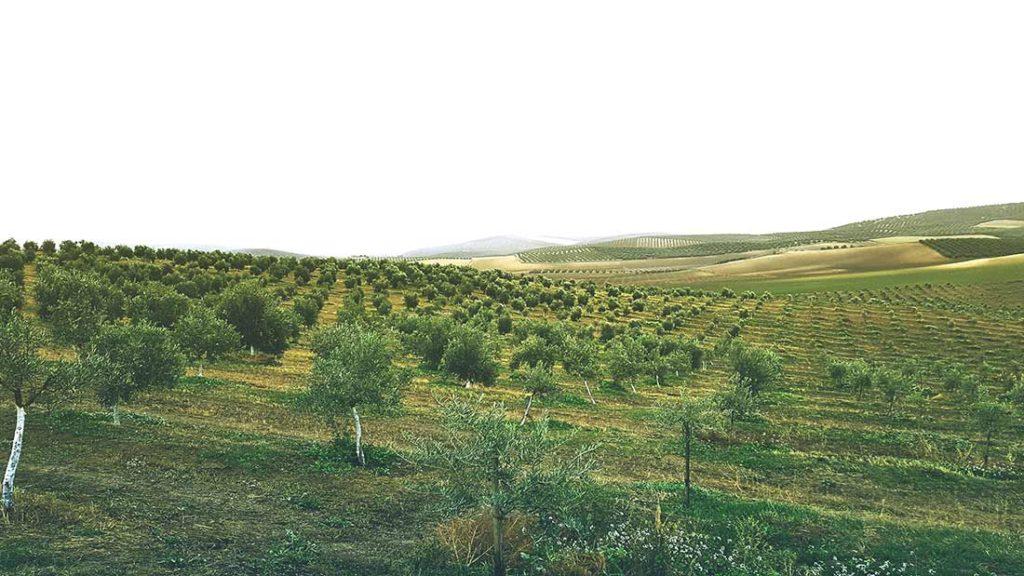 Ein Olivenhain mit gleichmäßig gepflanzten Bäumen