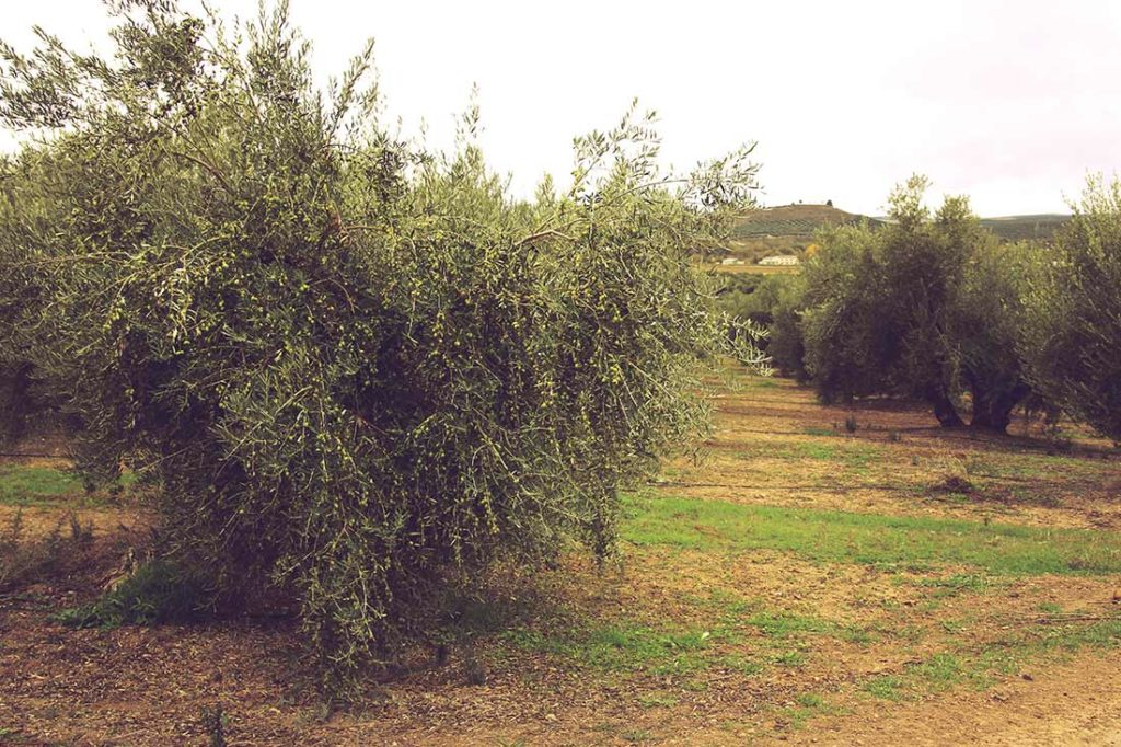 Olivenbaum mit ganz vielen grünen Oliven