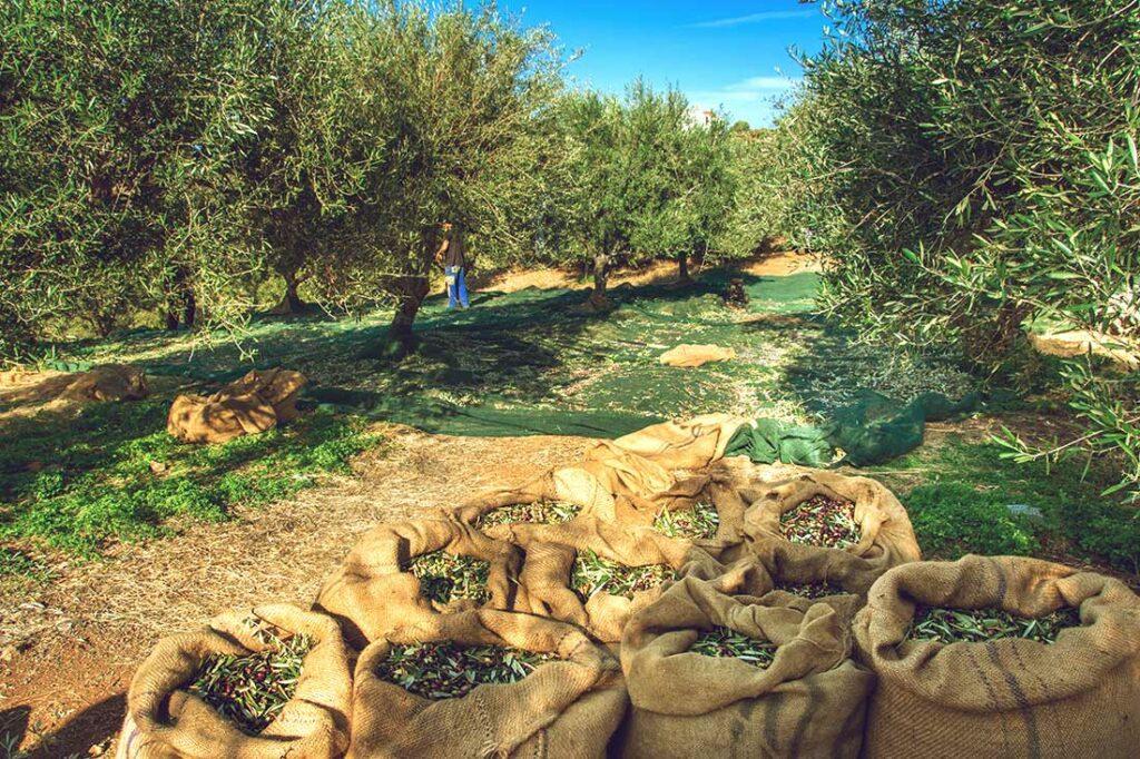 Ernte im Olivenhain, im Vordergrund Säcke mit Oliven. (Foto: iStock.com/Gatsi)