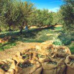 Spanisches Olivenöl: Andalusiens grünes Gold