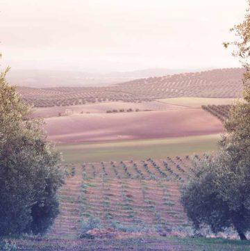Blick über die sanften Hügel der Olivenhaine von Vadolivo in Andalusien