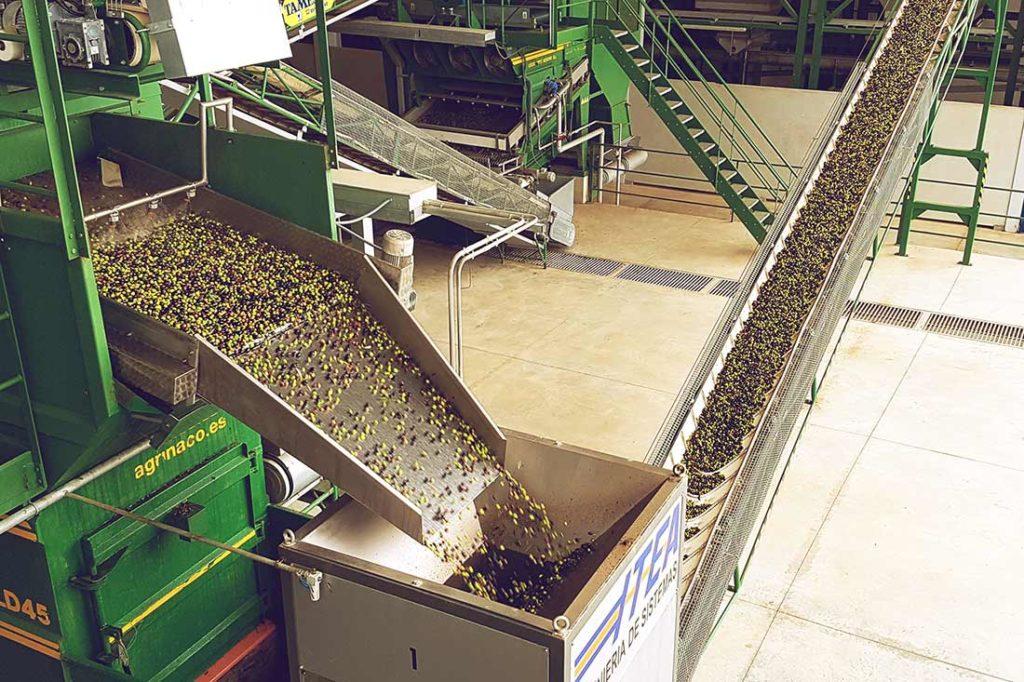 Oliven werden gewaschen und über Bänder transportiert