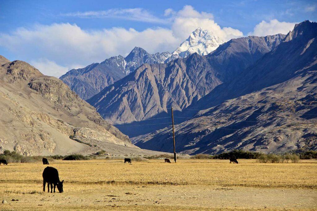 Foto von einem Gebirge in Afghanisten. Kühe weiden auf einer kargen Steppe, dahinter türmen sich mächtige Berge auf.